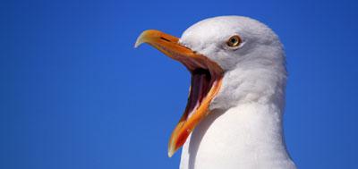 чайка голодная