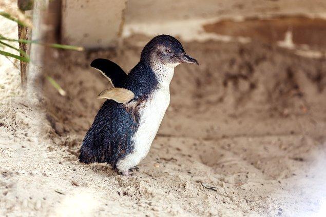 маленький пингвин