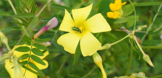 Жёлтый щавель