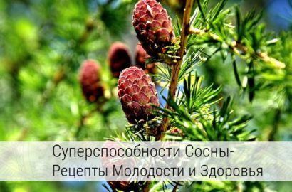 сосновые иголки лечебные свойства в народной медицине