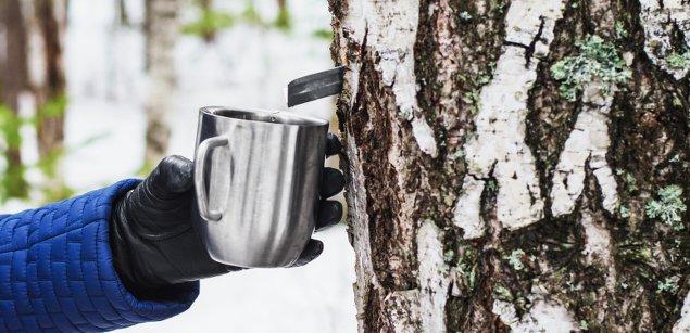 березовый сок из дерева