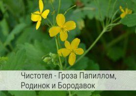 трава чистотел лечебные свойства и противопоказания