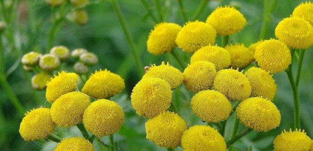 цветок пижма