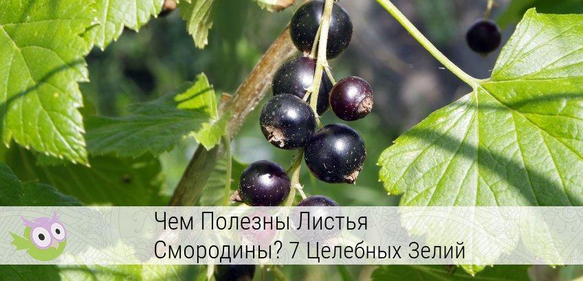 полезные свойства листьев черной смородины и противопоказания