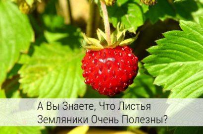 лист земляники лечебные свойства и противопоказания