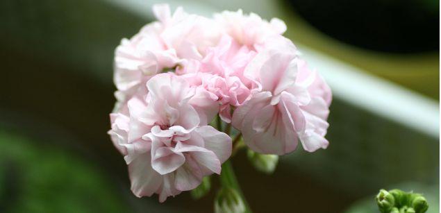 герань розовая пушистая